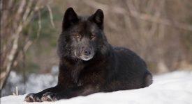 """Фарли Моуэт «Не кричи: """"Волки!""""» читать онлайн"""